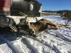 Harvested white tail on the tailgate of a truck