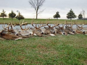 Seven harvested trophy white tail deer