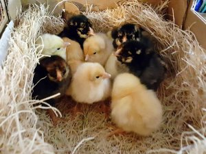 Baby chickens in a nest