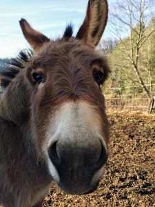 Close up of Donkey's Face