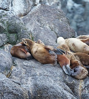 Seals on a rock