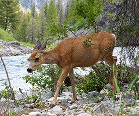 Deer Along Salmon River in Idaho