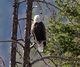 Bald Eagle in Idaho