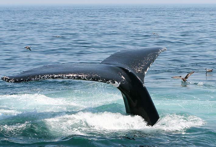Cape Cod whale watching near Sea Meadow Inn