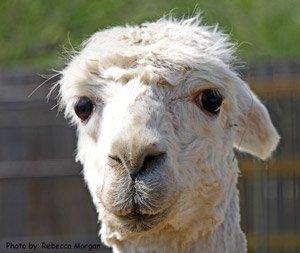 Capote the Alpaca