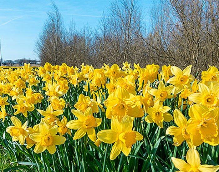A feild of Tulips