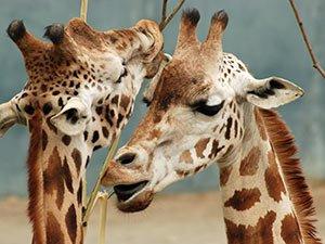 giraffes at Boise zoo near Idaho Bed and Breakfast Association