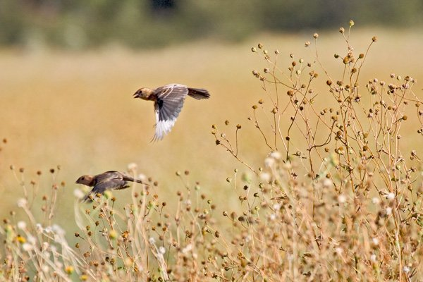 Birds flying low above a dry field
