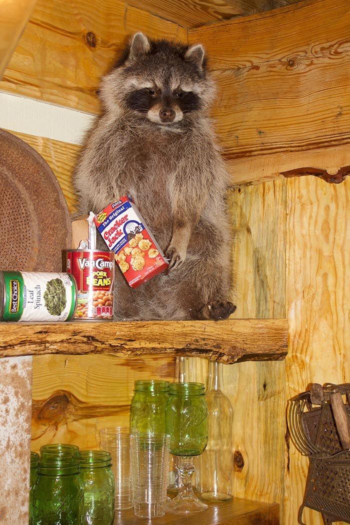 Cabin racooon