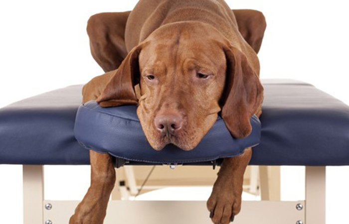 Relaxed dog on a massage table
