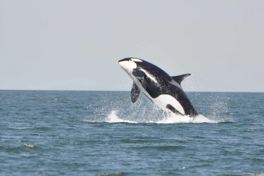 An orca in the ocean