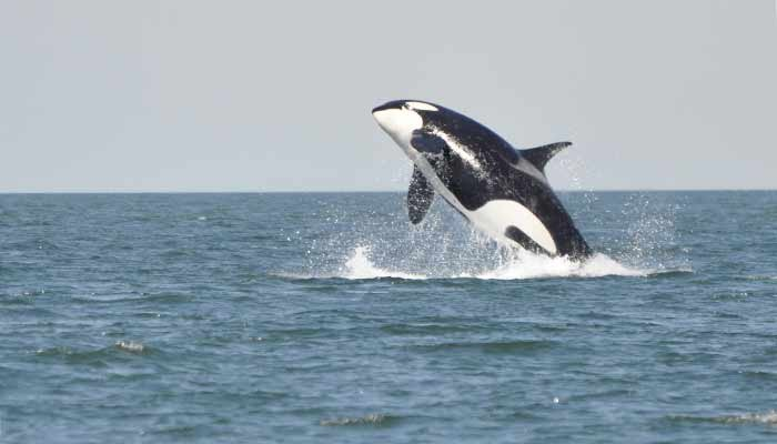 An orca leaping from the ocean