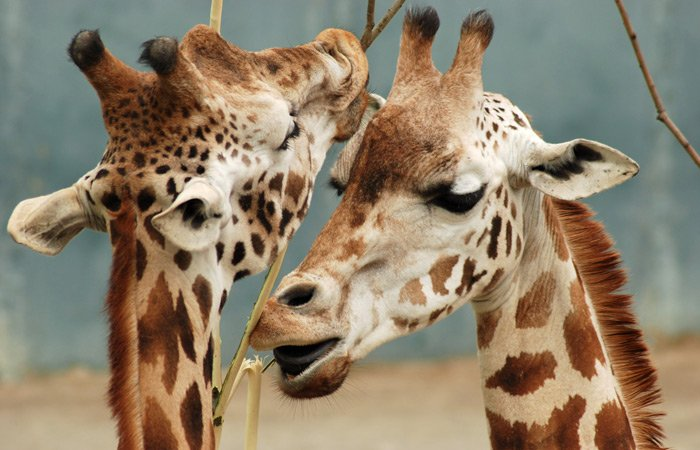 Shady Lady Bed and Breakfast texas attractions giraffes