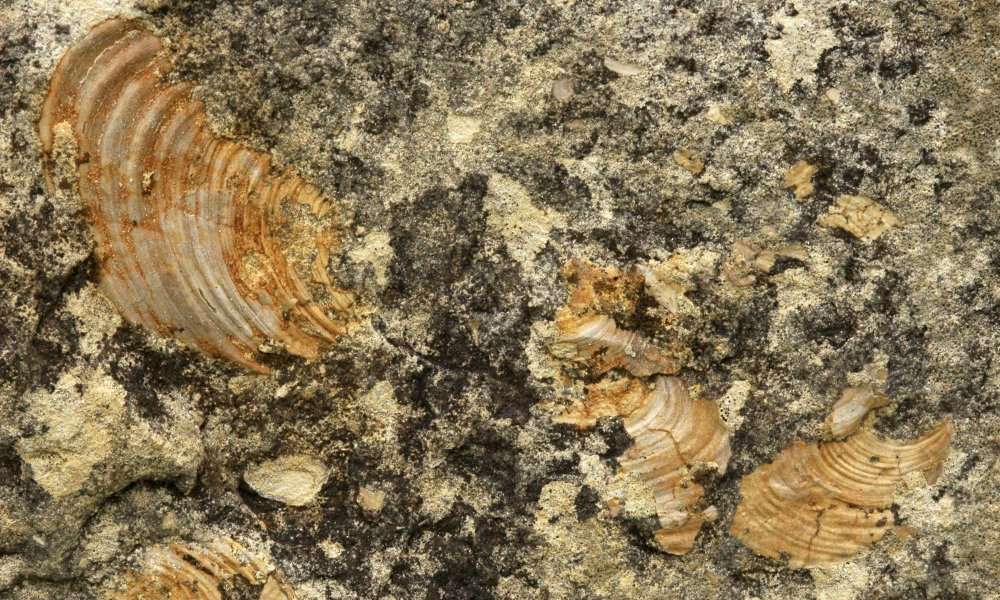 Fossils in a rock