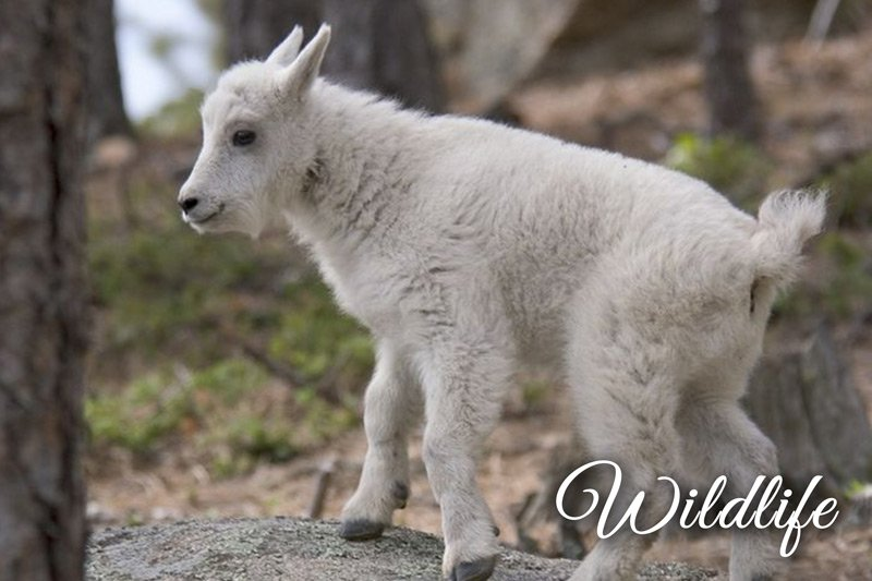 Wildlife Mountain Goat