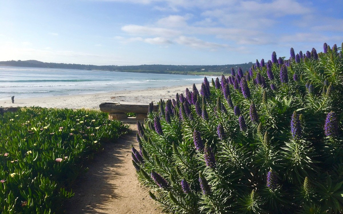 A beach with fields of lavender nearby