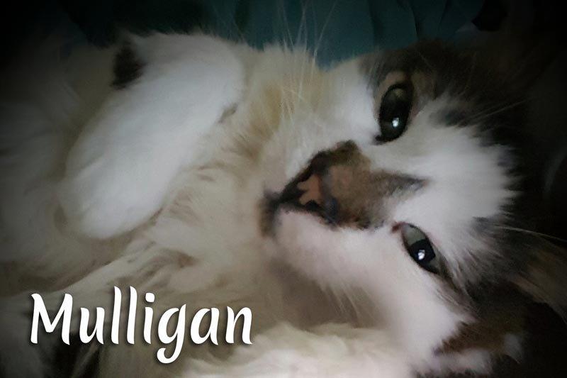 Mulligan the cat