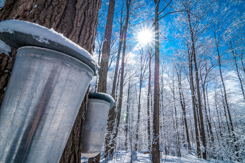 Maple Syrup Sap collection bucket in a forest