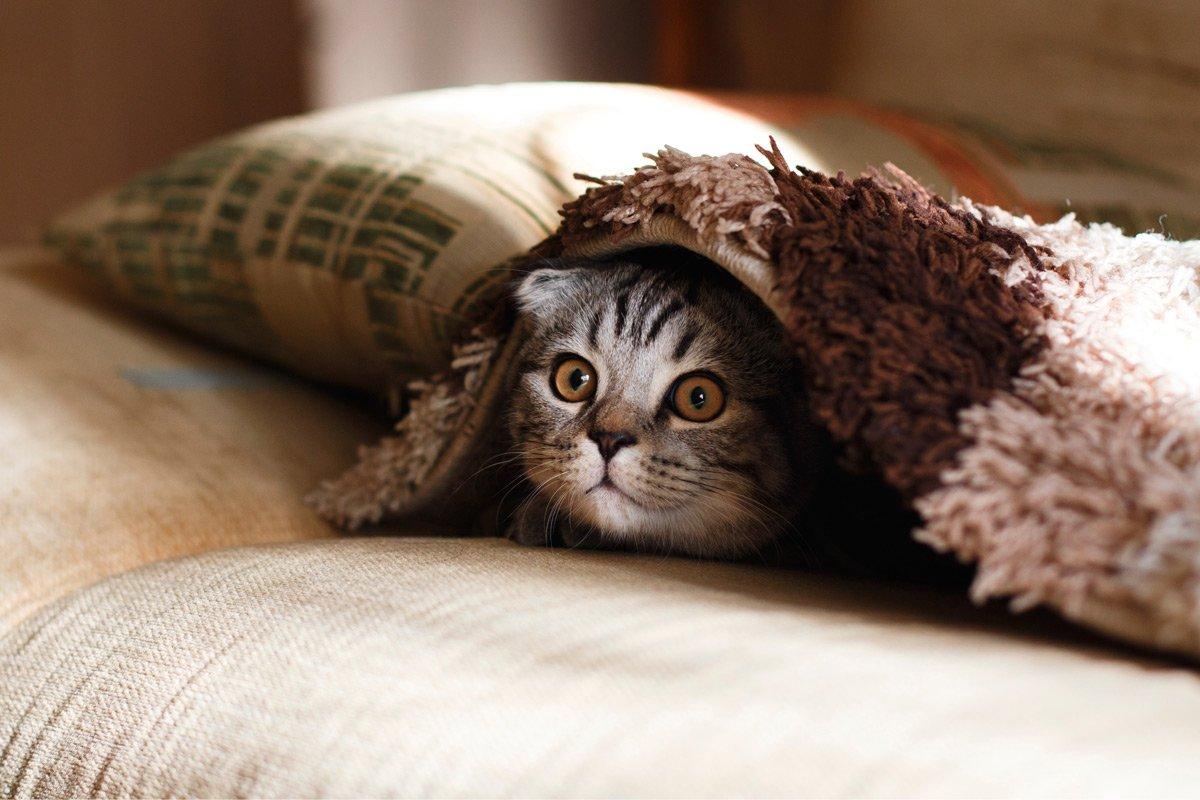 cat peeking out under blanket