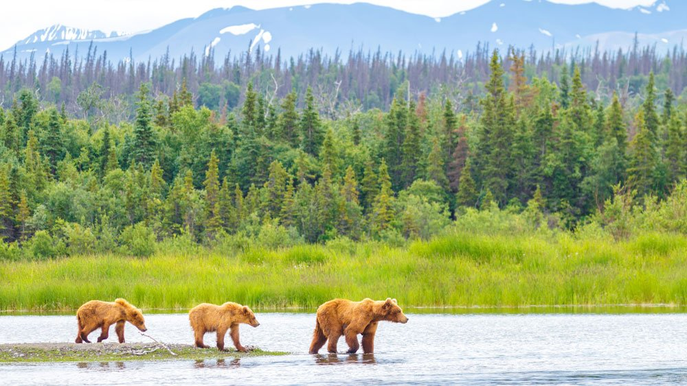 Grizzly bear and cubs crossing river