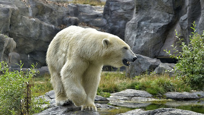 a polar bear seems to be smiling as he looks into the water