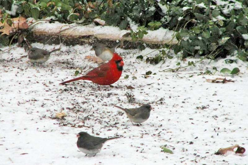Red Robin Bird in the Snow