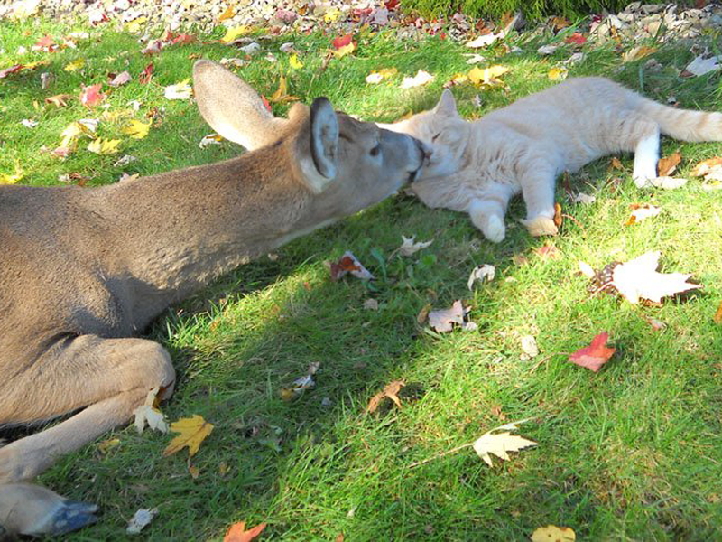 Deer kissing cat