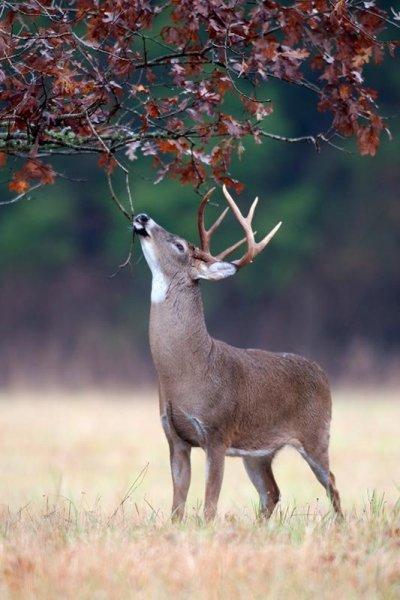 White tail Deer scent marking an oak tree