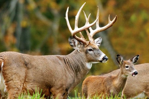White Tail Trophy Buck and Baby Dear