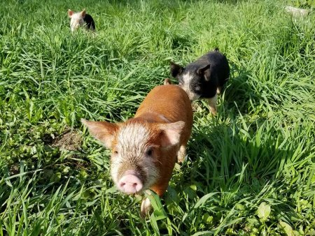 pigs in the grass