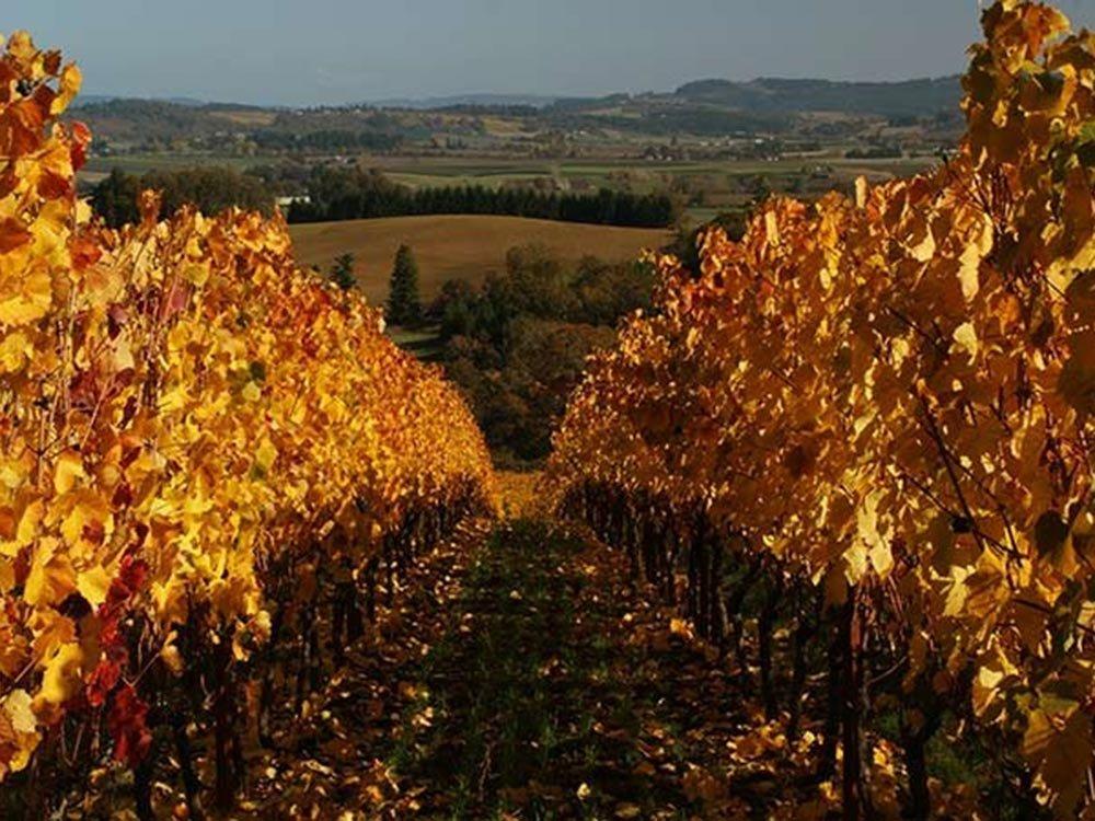 Golden leaf vineyard