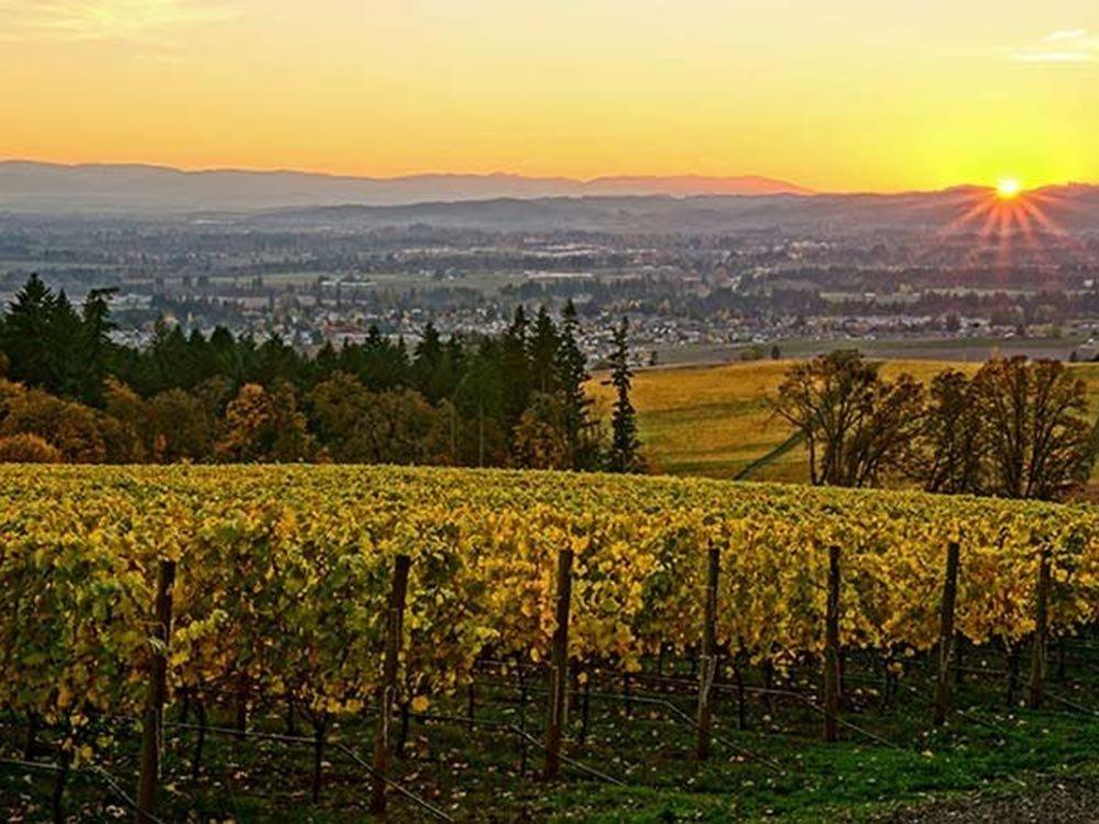 Sun raising behind vineyard