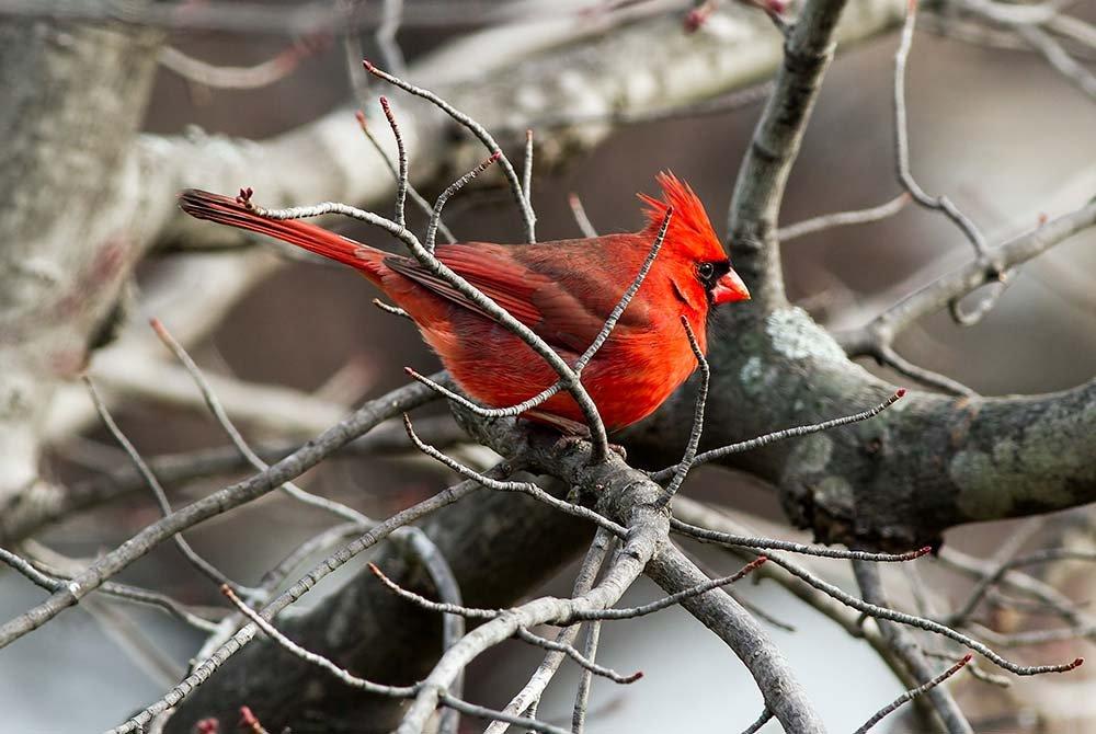 Red Bird on Tree Branch