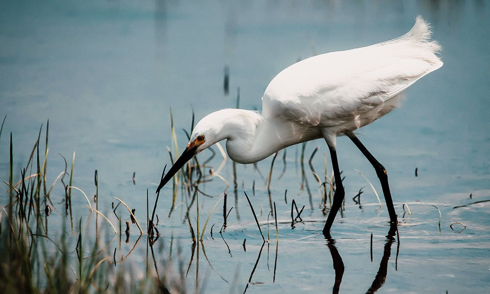 egret in marshlands