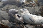 A pair of Seals on some rocks